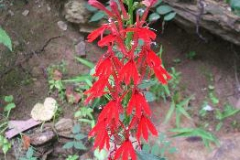 Lobelia cardinalis Raccoon Creek Park Gallia County Augu (2)