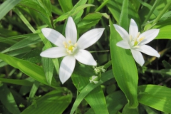 Star of Bethlehem (2)