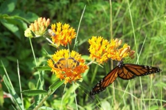 orland butterfly weed