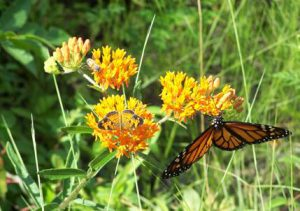 orland-butterfly-weed