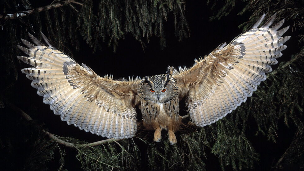 great-horned-owl-to 2.1